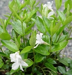 Periwinkle - Vinca minor